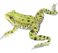 Rana verde ##STADE## - mantello 72