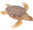 Tartaruga marina chelonioidea ##STADE## - mantello 26