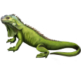 Iguana ##STADE## - mantello 72